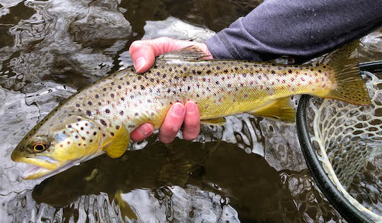Photo of the Month: Springtime Smoky Mountain Brown Trout