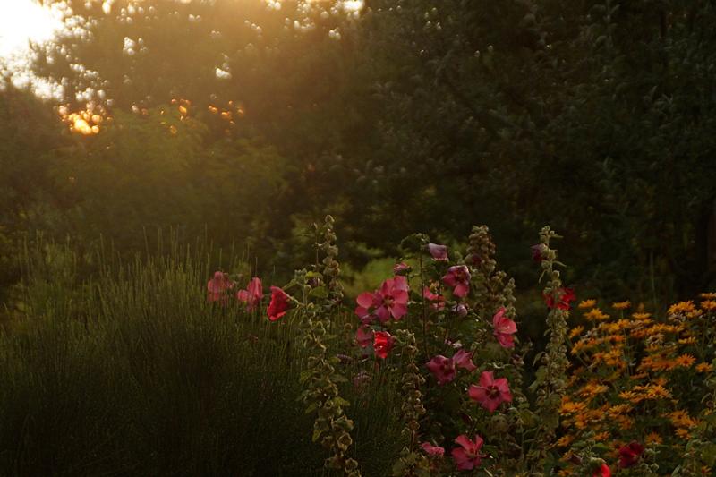 Sonnenuntergang/ Abendlicht im Garten   September Fotos