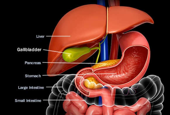Anatomical Illustration of the Gallbladder