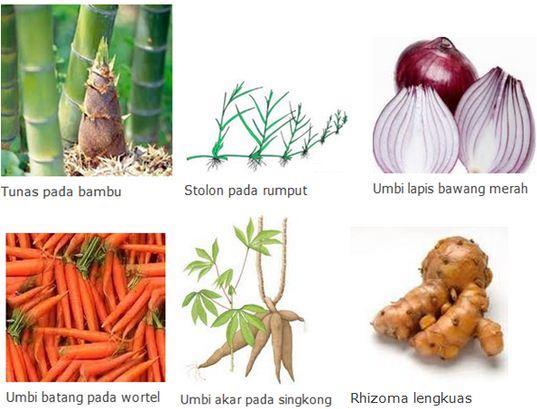 Pengertian dan Macam-macam Contoh Cara Perkembangbiakan Tumbuhan secara Vegetatif Alami dan Buatan