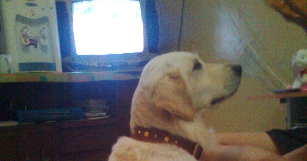 Golden Von Wons Cara Merawat Dan Melatih Anjing Golden Retriver