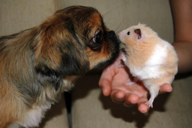 hamster ve köpek