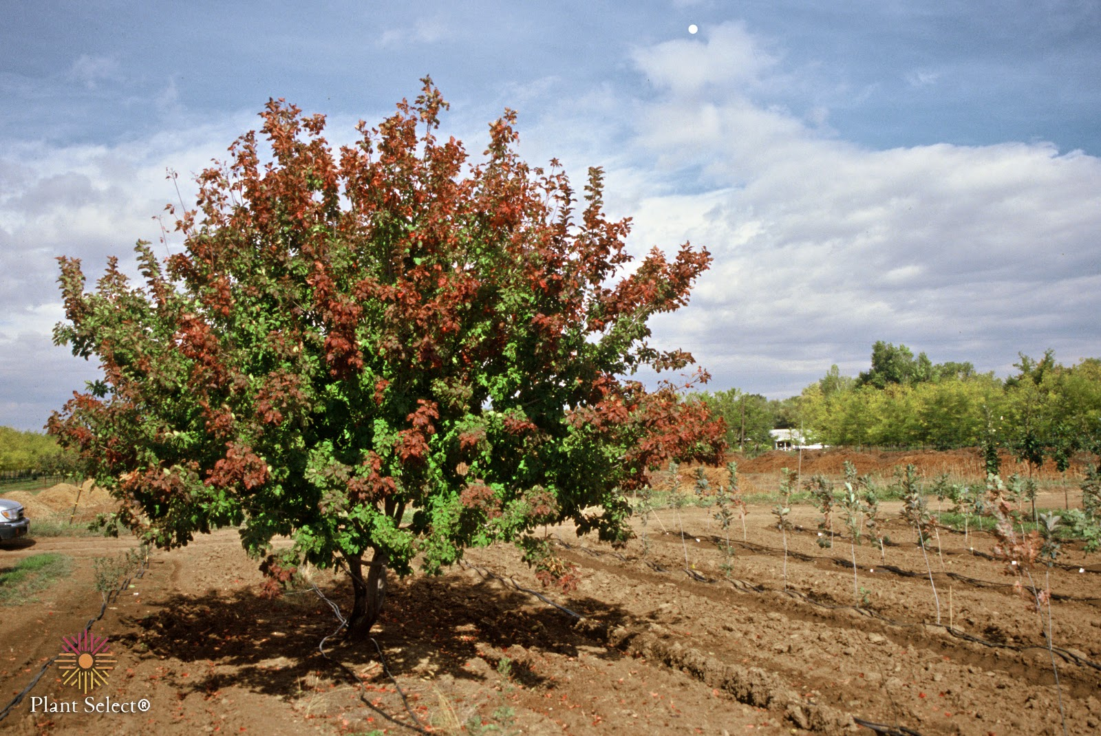 Hot Wings\' Tatarian Maple - a Great Small Tree