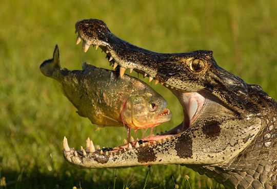 perfect picture of a crocodile catching a piranah