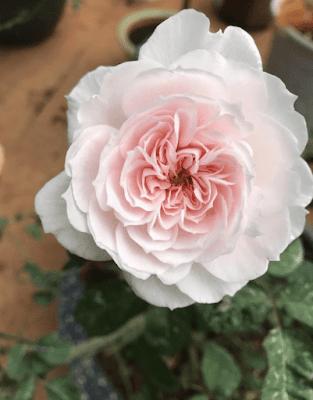 Hoa hồng 18