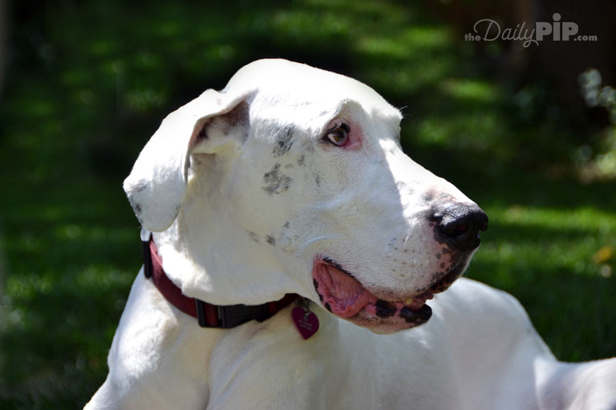 the joys of adopting a senior deaf dane
