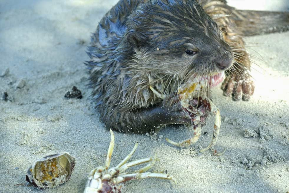 Aonyx cinerea, asian small clawed otter