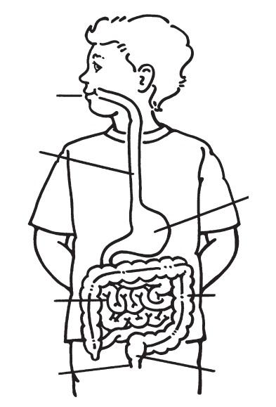Imagenes Del Sistema Digestivo Y Sus Partes Para Colorear