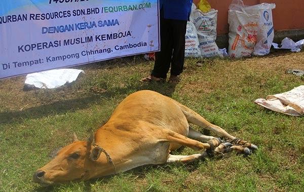 Lembu eQurban di Kemboja