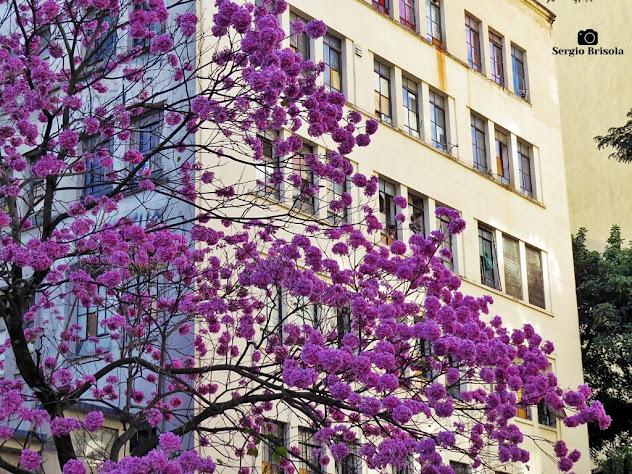 Fotocomposição com destaque para um Ipê Roxo florido na região da Bela Vista - São Paulo