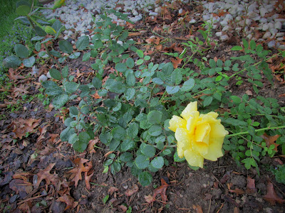 yellow rose bush we planted