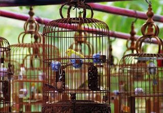 Ternak-Burung-Kicau