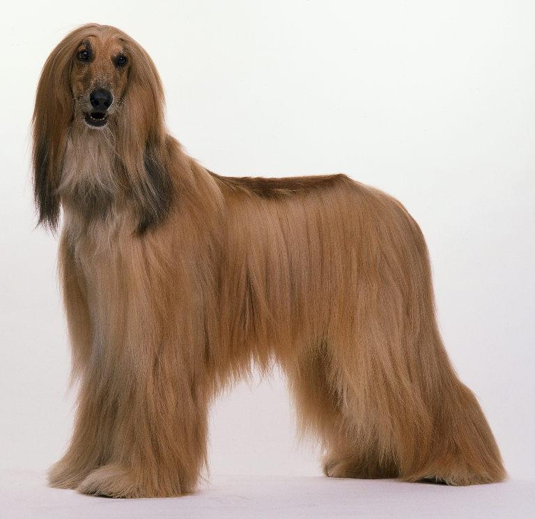 dog breed directory afghan hound dog breed
