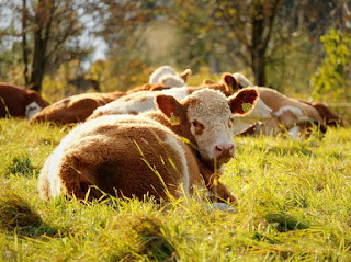 African traditional dynamic trio of beef producers include Botswana, Namibia and Zimbabwe.