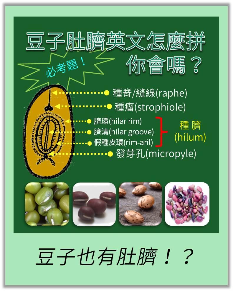 你知道豆子肚臍的英文怎麼拼嗎?