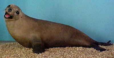 Foto de un lobo marino con boca abierta
