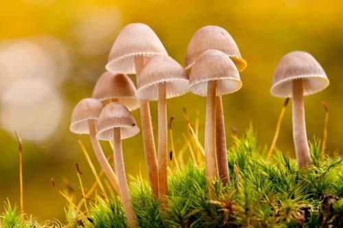 3 Macam Hifa Jamur (Fungi), Gambar dan Penjelasannya