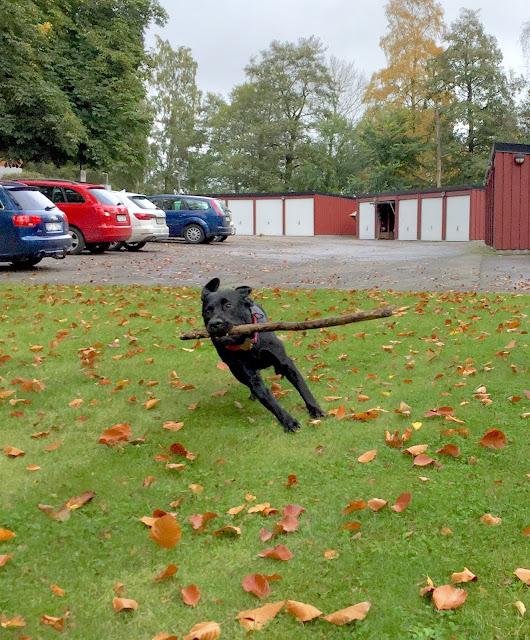 Siri Labrador Pinne Race
