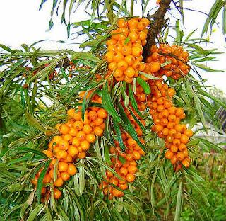 Hippophae rhamnoides oil