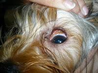 Resultado de imagen de espigas perros