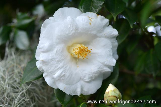 1-camellia%2Blovelight.JPG