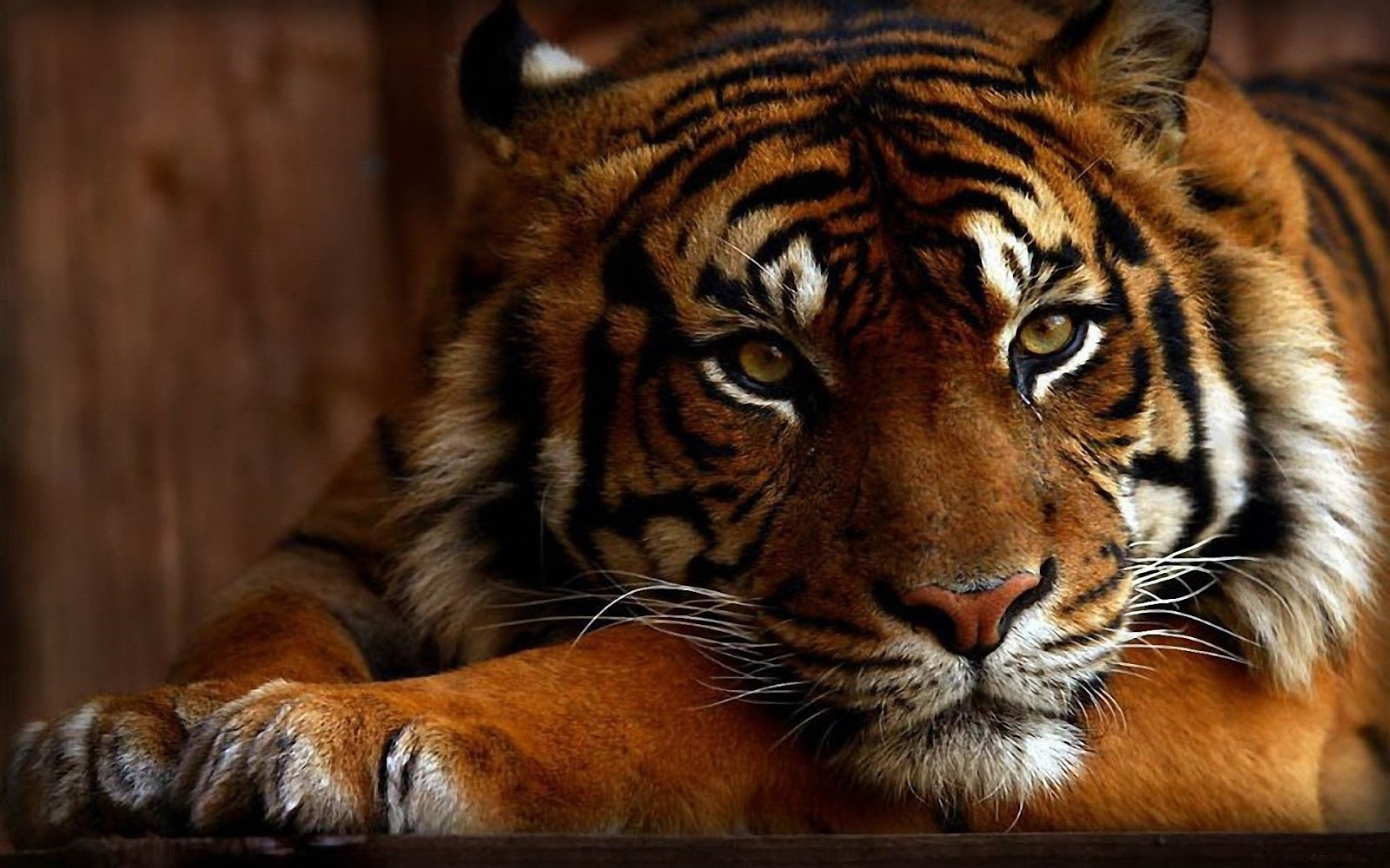 best 10 tiger wallpapers in the world ~ hd | wonderful background