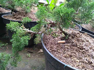 tanaman-bonsai-cemara-sargenti.jpg