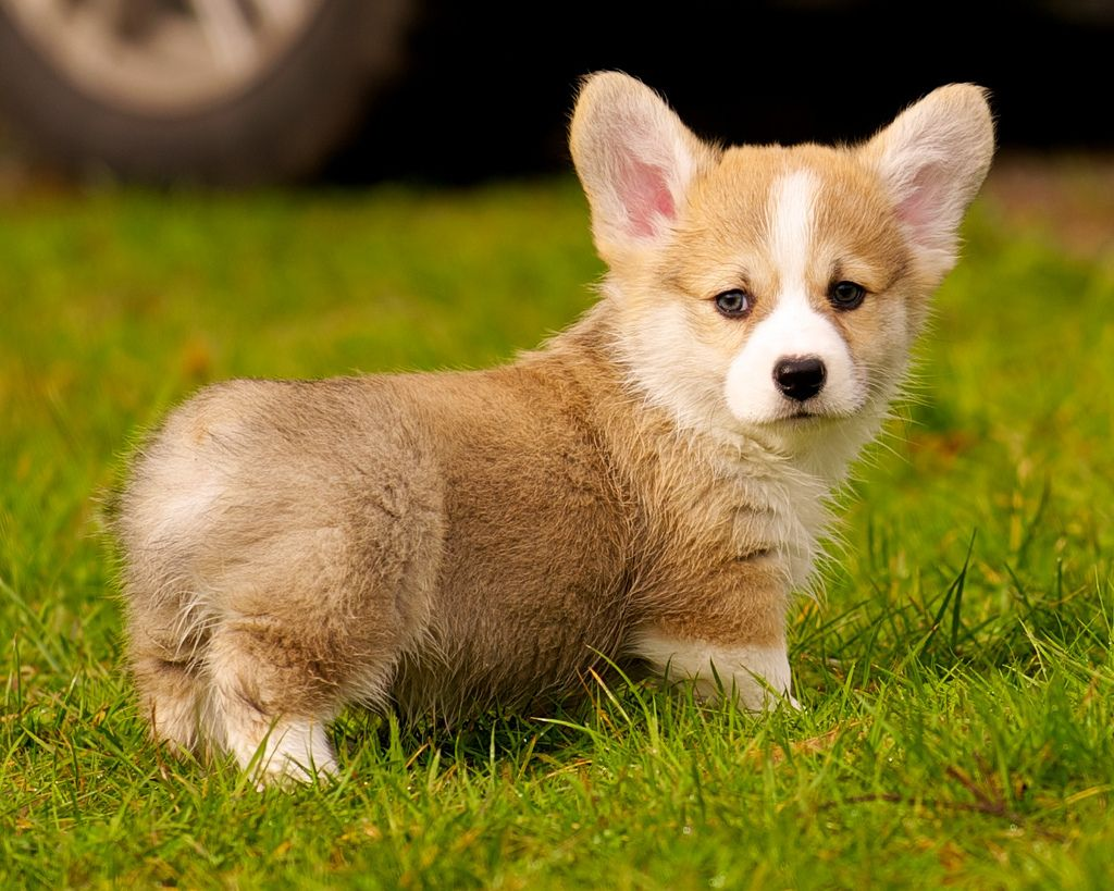 24. Corgi Puppies