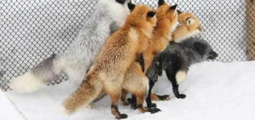 Animals I Admire: Fox gangbang