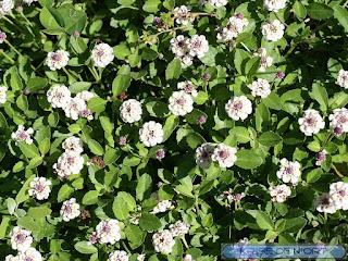Phyla à fleurs nodales - Phyla nodiflora - Verveine nodulaire