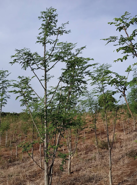 malunggay-tree