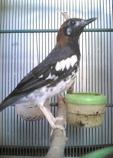 punglor kembang jawa barat www.burung45.blogspot.com