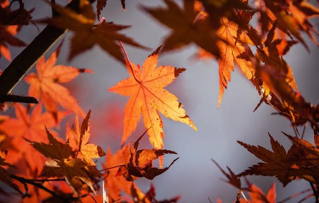 daun musim gugur
