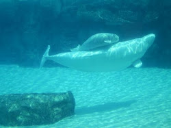 whale beluga baby marineland pirate niagara falls should been tripadvisor mozquitoo mosquito posted am rate ship