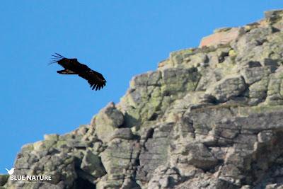 Buitre negro (Aegypius monachus) surcando las laderas rocosas del Parque Nacional.