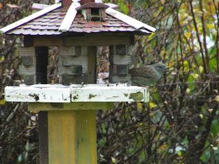 Heckenbraunelle in Vogelfutterhaus