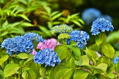 Tukang Taman surabaya Cara Merawat Bunga Panca Warna (Hydrangea)