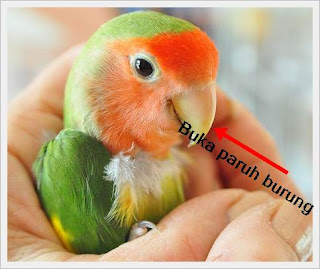 Buka paruh burung kemudian kita berikan ludah