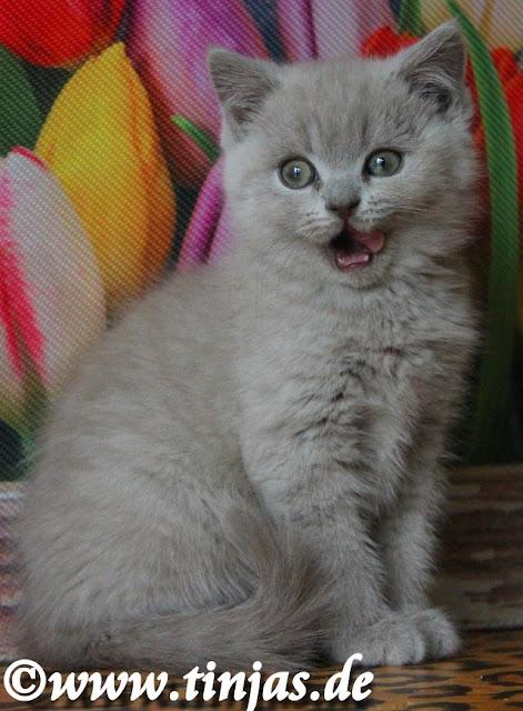 Britisch Kurzhaar Katzenbaby 2017 tinjas Katzenzucht 2017 05 10 5