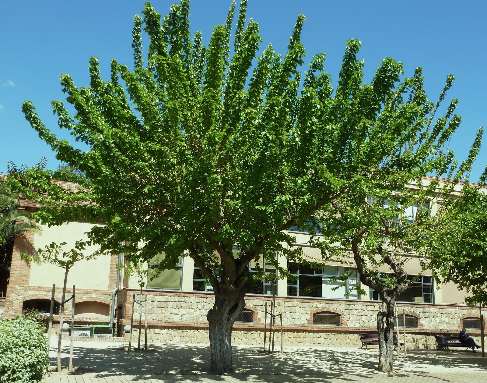 Rboles con alma morera morus alba for Arboles para jardin de hoja perenne