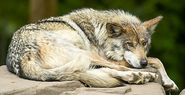 the reintroduction of wolves into the wild Government implemented its program for reintroduction of gray wolves into   estimated that nearly three thousand gray wolves inhabit the wilderness of.