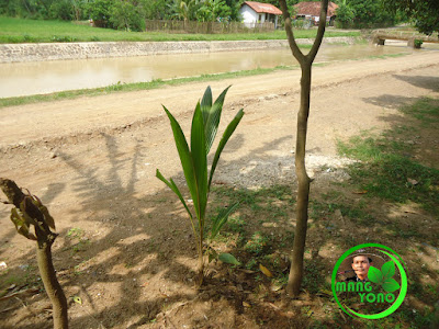FOTO : Tanaman kelapa saya di pinggir sungai...