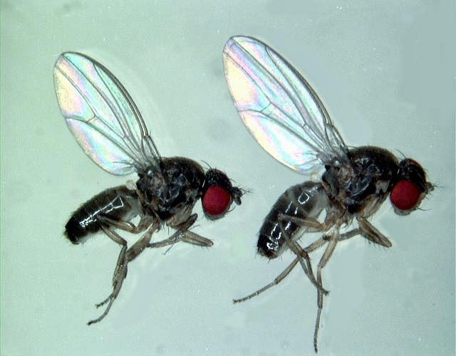 flies that have only 24 hours lifespan