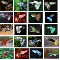 Gambar terbaru jenis ikan guppy lokal dan impor
