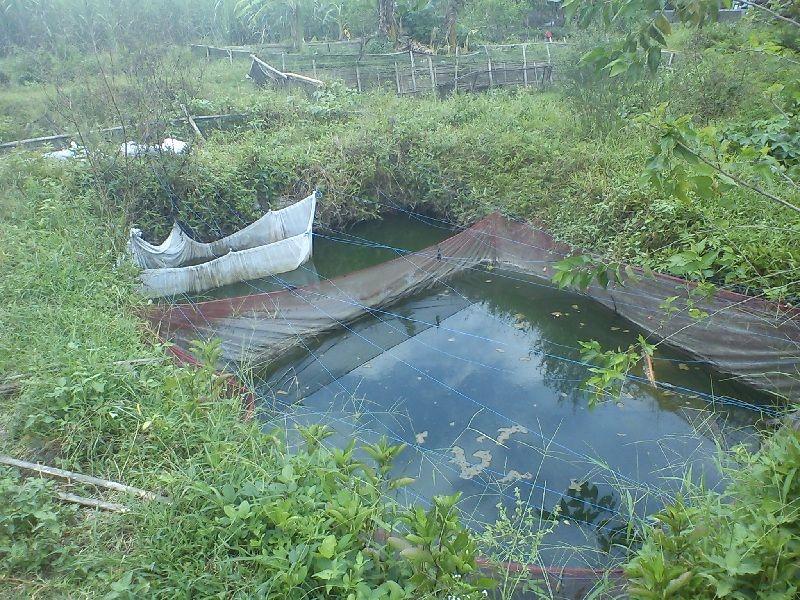 Persiapan Usaha Pembesaran Ikan Bawal