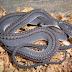 แตกตื่น!!! เป็นบุญจริงๆ (Dragon Snake) งูสายพันธุ์หายากที่สุดในโลก!! (มีคลิป)