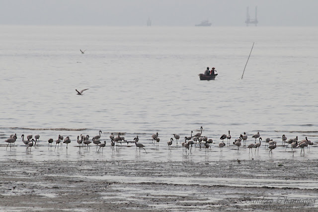 Lesser Flamingos - Haji bunder point, Sewri, Mumbai