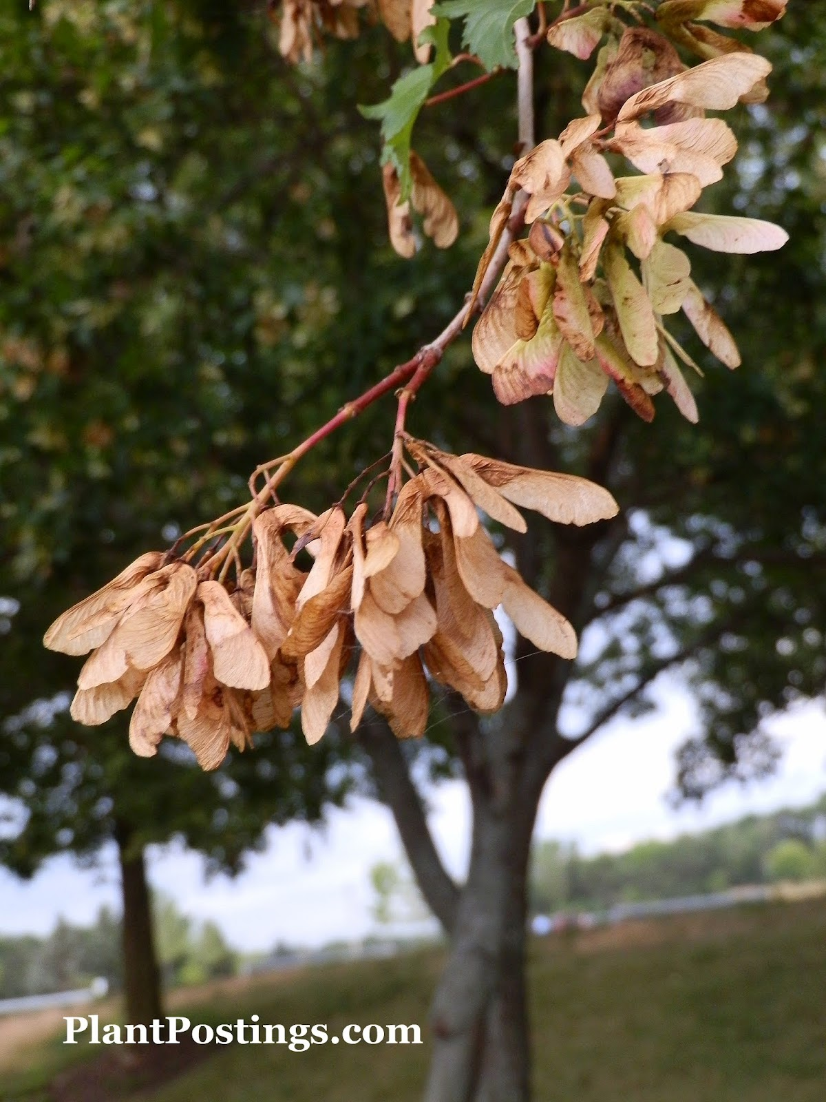 PlantPostings: Plant of the month: Shagbark Hickory