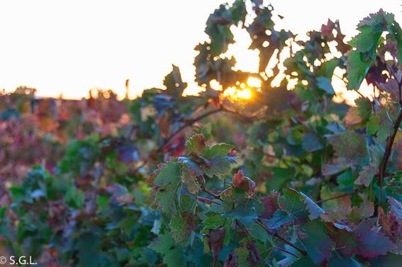 Viñedo de laguardia. La Rioja Alavesa