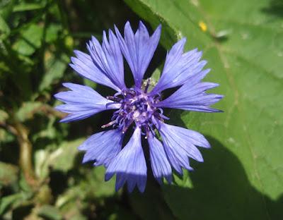 Flor azul del aciano(Centaurea cyanus)